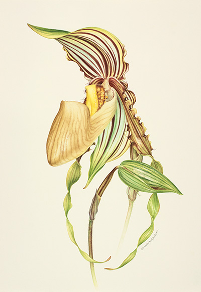 <p>The Old and The Young I; Paphiopedilum praestans [<em>Paphiopedilum praestans</em> Pfitzer, Orchidaceae], watercolor on paper by Eunike Nugroho (1981–), 2014, 38 × 29.5 cm, HI Art accession no. 8132, reproduced by permission of the artist.</p>