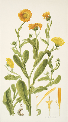 <p><em>Calendula officinalis</em> Linnaeus, Asteraceae alt. Compositae, pot marigold, watercolor by Ida Hrubesky Pemberton, Pemberton Collection of the University of Colorado Museum of Natural History.</p>