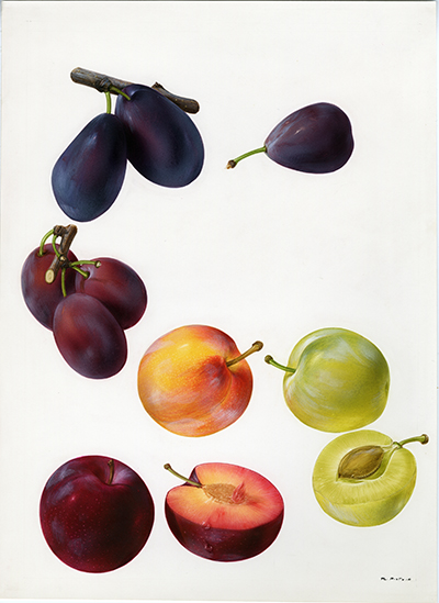 <p>Plum (Prunus): Stanley, Saint Clare, sugar, Burbank, Reine Claude, Santa Rosa [<em>Prunus</em> Linnaeus, Rosaceae], watercolor on paper by Marilena Pistoia (1933–), 31.5 × 23 cm, for Francesco Bianchini and Francesco Corbetta, <em>I Frutti della Terra</em> (Verona, Arnoldo Mondadori, 1973, p. 145), HI Art accession no. 6771.60, reproduced by permission of Mondadori Electa, S.p.A., Milan.</p>