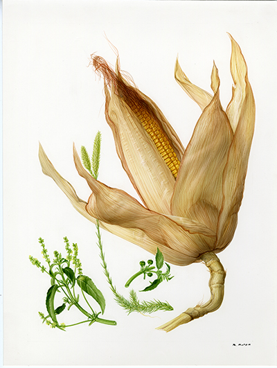 <p>Maize (Zea mays), Lycopodium (Lycopodium clavatum), Herb mercury (Mercurialis annua) [<em>Lycopodium</em> Linnaeus, Lycopodiaceae; <em>Mercurialis</em> Linnaeus, Euphorbiaceae; <em>Zea</em> Linnaeus, Poaceae alt. Gramineae], watercolor on paper by Marilena Pistoia (1933–), 29.5 × 22.5 cm, for Francesco Bianchini and Francesco Corbetta, <em>Le Piante della Salute</em> (Milan, Arnoldo Mondadori, 1975, p. 139), HI Art accession no. 6772.41, reproduced by permission of Mondadori Electa, S.p.A., Milan.</p>