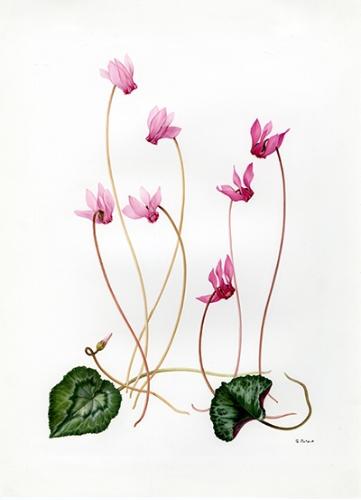 <p>Cyclamen: Cyclamen europaeum (syn. C. purpurascens), C. neapolitanum (syn. C. hederifolium) [<em>Cyclamen</em> Linnaeus, Primulaceae], watercolor on paper by Marilena Pistoia (1933–), 35 × 25.5 cm, for Laura Peroni, <em>Il Linguaggio dei Fiori</em> (Milan, Arnoldo Mondadori, 1984, p. 63), HI Art accession no. 6773.25, reproduced by permission of Mondadori Electa, S.p.A., Milan.</p>