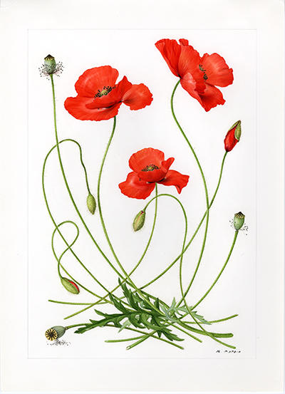 <p>Corn Poppy: Papaver rhoeas [<em>Papaver</em> Linnaeus, Papaveraceae], watercolor on paper by Marilena Pistoia (1933–), 35 × 25.5 cm, for Laura Peroni, <em>Il Linguaggio dei Fiori</em> (Milan, Arnoldo Mondadori, 1984, p. 125), HI Art accession no. 6773.56, reproduced by permission of Mondadori Electa, S.p.A., Milan.</p>