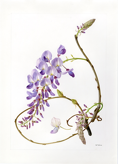 <p>Wisteria: Wisteria sinensis [<em>Wisteria</em> Nuttall, Fabaceae alt. Leguminosae], watercolor on paper by Marilena Pistoia (1933–), 35 × 25.5 cm, for Laura Peroni, <em>Il Linguaggio dei Fiori</em> (Milan, Arnoldo Mondadori, 1984, p. 167), HI Art accession no. 6773.77, reproduced by permission of Mondadori Electa, S.p.A., Milan.</p>