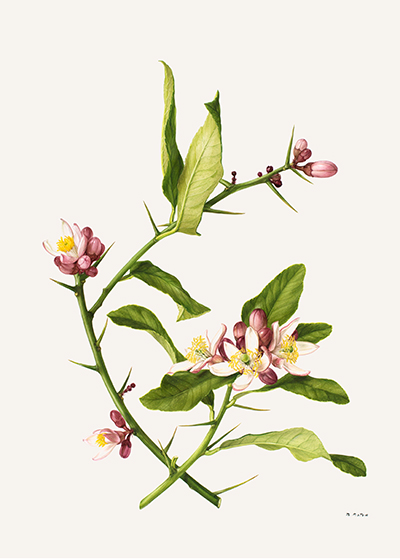 <p>Citron: Citrus medica [<em>Citrus medica</em> Linnaeus, Rutaceae], watercolor on paper by Marilena Pistoia (1933–2017), 35 × 25.5 cm, for Laura Peroni, <em>Il Linguaggio dei Fiori</em> (Milan, Arnoldo Mondadori, 1984, p. 53), HI Art accession no. 6773.20, reproduced by permission of Mondadori Electa, S.p.A., Milan.</p>