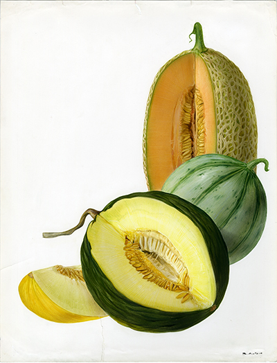 <p>Melon (Cucumis melo): netted melon, cantaloupe, winter melons [<em>Cucumis</em> Linnaeus, Cucurbitaceae], watercolor on paper by Marilena Pistoia (1933–), 31.5 × 23 cm, for Francesco Bianchini and Francesco Corbetta, <em>I Frutti della Terra</em> (Verona, Arnoldo Mondadori, 1973, p. 141), HI Art accession no. 6771.58, reproduced by permission of Mondadori Electa, S.p.A., Milan.</p>