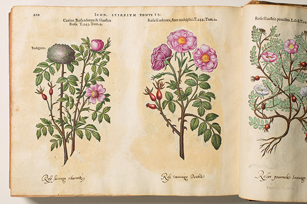 <p><em>From left</em>, Rosa canina (with Rose bedeguar gall), Rosa sylvestris, Rosa sylvestris odorata and Rosa silvestris pomifera [<em>Rosa canina</em> Linnaeus, <em>Rosa</em> Linnaeus and ?<em>Rosa villosa</em> Linnaeus, Rosaceae], hand-colored (by a previous owner) woodcuts by an unknown engraver after originals likely by Pieter van der Borcht (1545–1608) for Matthias de L'Obel (1538–1616), <em>Plantarum seu Stirpium Icones</em> (Antwerp, Christophe Plantin, 1581, Tomus secundus, pp. 210–211), HI Library call no. DQ1 L797P RR.</p>