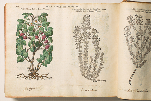 <p><em>From left</em>, Rubus Idaeus and Erica pumila calyculato Vnedonis flore [<em>Rubus idaeus</em> Linnaeus, Rosaceae; <em>Erica pumila</em> Andrews, Ericaceae], hand-colored (by a previous owner) and uncolored woodcuts by an unknown engraver after originals likely by Pieter van der Borcht (1545–1608) for Matthias de L'Obel (1538–1616), <em>Plantarum seu Stirpium Icones</em> (Antwerp, Christophe Plantin, 1581, Tomus secundus, p. 212), HI Library call no. DQ1 L797P RR.</p>