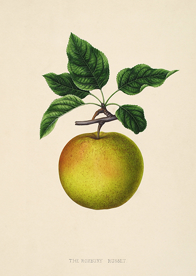 <p>The Roxbury Russet [<em>Malus</em> Miller, Rosaceae], hand-colored, chalk-style lithograph nurseryman plate attributed to Joseph (1796–1867) and Gottlieb (1827–1892) Prestele, Collection of Marcelee Konish, reproduced by permission of the owner.</p>
