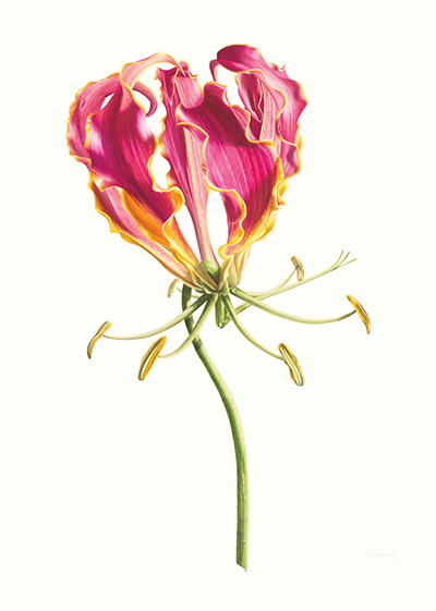 <p>Flaming Glory; Flame Lily; Gloriosa superba 'Rothschildiana' scale 3:1 [<em>Gloriosa superba</em> Linnaeus, Colchicaceae], watercolor on paper by Denise Ramsay (1971–), 2015, 76.5 × 56 cm, HI Art accession no. 8083, reproduced by permission of the artist.</p>