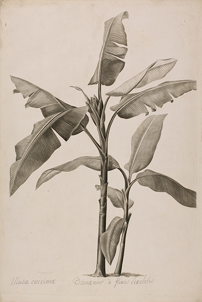 <p>Musa coccinea, Bananier à fleurs écarlates [<em>Musa coccinea</em> Andrews, Musaceae], stipple engraving proof, printed in black, by de Gouy (fl.1802–1816), 52 × 35.5 cm, after an original by Pierre-Joseph Redouté (1759–1840) for his <em>Les Liliacées</em> (Paris, Didot, 1811, vol. 6, pl. 307), HI Art accession no. 0586.</p>