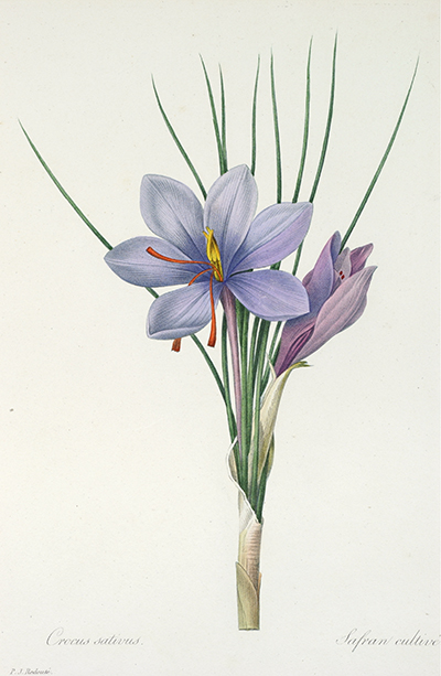 <p>Crocus sativus, Safran cultive [<em>Crocus sativus</em> Linnaeus, Iridaceae], engraving, printed in color and finished by hand with color wash, by an unknown engraver after an original by Pierre-Joseph Redouté (1759–1840) for his <em>Choix des Plus Belles Fleurs</em> ... (Paris, l'Auteur, 1829), HI Library call no. hDQ2 R319C 829.</p>