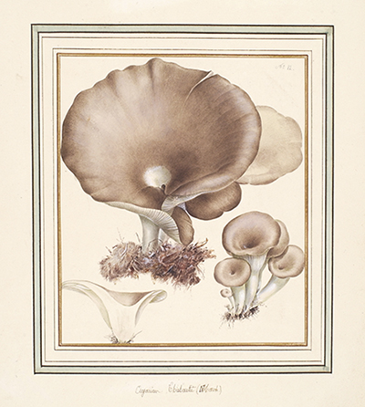 <p>Agaricus chiebautii (March.) [<em>Gymnopus</em> (Persoon) Roussel, Agaricaceae], watercolor by Pierre-Joseph Redouté (1759–1840), 30 × 24 cm, for his <em>Champignons du Luxembourg</em> (Luxembourg, 1989, pl. 12), reproduced courtesy of the Nationaal Herbarium Nederland.</p>