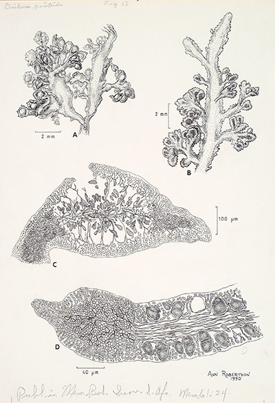 "<p>Onikusa pristoides [<em>Gelidium pristoides</em> (Turner) Kützing, Gelidiaceae], ink on paper by Ann Robertson (1944–), 1990, 30 × 21 cm, for R. E. Norris, ""The marine red algae of Natal, South Africa: Order Gelidiales (Rhodophyta)"" in <em>Memoirs of the Botanical Survey of South Africa</em> (1992, vol. 61, p. 24, fig. 12), HI Art accession no. 7538.046, reproduced by permission of the artist.</p>"