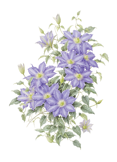 <p>Clematis lanuginosa hybrid [<em>Clematis lanuginosa</em> Lindley, Ranunculaceae], watercolor on paper by Koichi Saito (Japan), 2003, 70 × 52.5 cm, reproduced by permission of the artist.</p>
