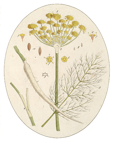 <p><span>Common Fennel [</span><em>Foeniculum</em><span> Miller, Apiaceae alt. Umbelliferae], unsigned hand-colored engraving by Cornelius Heinrich Hemmerich Foeniculum or James Basire after an original by Timothy Sheldrake (fl.1734–1759) for his </span><em>Botanicum Medicinale: An Herbal of Medicinal Plants on the College of Physicians' List ... Most Beautifully Engraved on 120 Large Folio Copper-Plates</em><span> (London, Printed for J. Millan, [?1759], pl. 37), HI Library call no. DF5 S544B.</span></p>