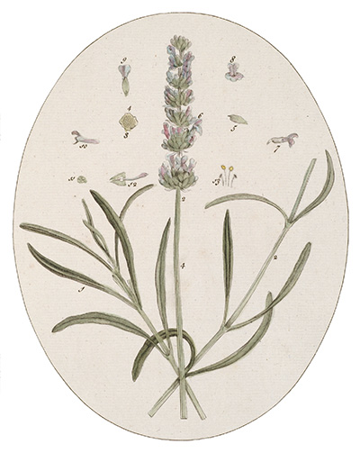 <p>Common Rosemary [<em>Rosmarinus</em> Linnaeus, Lamiaceae alt. Labiatae], hand-colored engraving by James Basire after an original by Timothy Sheldrake (fl.1734–1759) for his <em>Botanicum Medicinale: An Herbal of Medicinal Plants on the College of Physicians' List ... Most Beautifully Engraved on 120 Large Folio Copper-Plates</em> (London, Printed for J. Millan, [?1759], pl. 88), HI Library call no. DF5 S544B.</p>