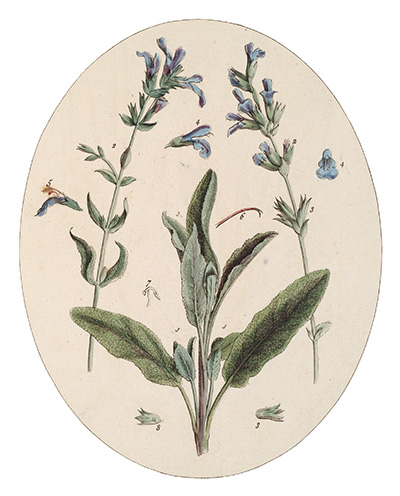 <p>Sage of Virtue [<em>Salvia</em> Linnaeus, Lamiaceae alt. Labiatae], hand-colored engraving by Cornelius Heinrich Hemmerich after an original by Timothy Sheldrake (fl.1734–1759) for his <em>Botanicum Medicinale: An Herbal of Medicinal Plants on the College of Physicians' List ... Most Beautifully Engraved on 120 Large Folio Copper-Plates</em> (London, Printed for J. Millan, [?1759], pl. 94), HI Library call no. DF5 S544B.</p>