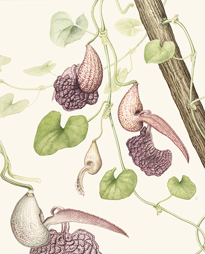 <p>Rooster Flower; Aristolochia labiata [<em>Aristolochia labiata</em> Willdenow, Aristolochiaceae], watercolor on paper by Laura Silburn (1973–), 2014, 55.5 × 47 cm, HI Art accession no. 8131, reproduced by permission of the artist.</p>