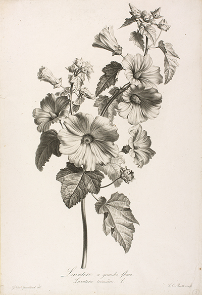 <p>Lavatere a grandes fleurs. Lavatera trimestris L. [<em>Lavatera trimestris</em> Linnaeus, Malvaceae], stipple engraving by Louis Charles Ruotte (1754–1806), 49 × 33.5 cm, after an original by Gérard van Spaendonck (1746–1822) for his <em>Fleurs Dessinées d'après Nature</em> (Paris, l'Auteur, au Jardin des Plantes, 1801), HI Art accession no. 0006.</p>