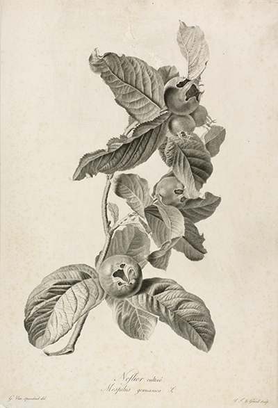 <p>Neslier cultivé. Mespilus germanica L. [<em>Mespilus germanica</em> Linnaeus, Rosaceae], stipple engraving by Pierre François Le Grand (1743–1824), 50.5 × 33.5 cm, after an original by Gérard van Spaendonck (1746–1822) for his <em>Fleurs Dessinées d'après Nature</em> (Paris, l'Auteur, au Jardin des Plantes, 1801), HI Art accession no. 0008.</p>