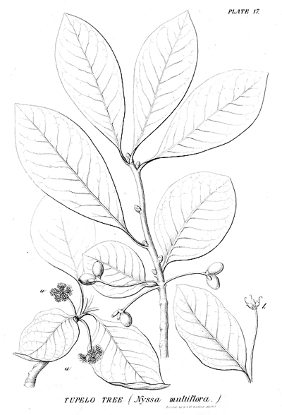 <p>Tupelo tree (Nyssa multiflora) [<em>Nyssa multiflora</em> Elliott, Cornaceae], engraving by G. & W. Endicott, 30.5 × 24 cm, after an original by Isaac Sprague (1811–1895) for George Barrell Emerson (1797–1881), <em>A Report on the Trees and Shrubs Growing Naturally in the Forests of Massachusetts</em> (Boston, Dutton & Wentworth, 1846, pl. 17), on indefinite loan from the Smithsonian Institution, HI Art accession no. 3254.</p>