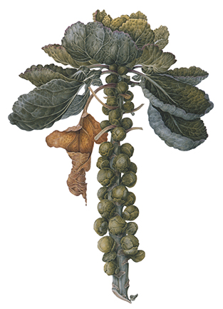 <p>Brussels Sprouts [<em>Brassica oleracea</em> Linnaeus, Brassicaceae alt. Cruciferae], watercolor on paper by Christine Stephenson (1937–), 1999, 56.5 × 38.5 cm, HI Art accession no. 7485, reproduced by permission of the artist.</p>