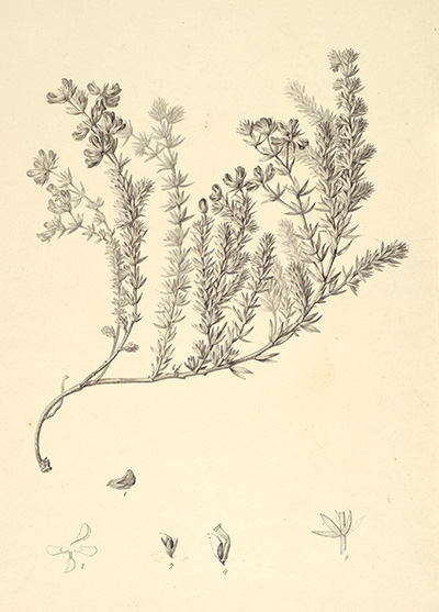 <p>Lotus sericea [<em>Dorycnium hirsutum</em> (Linnaeus) Seringe, Fabaceae alt. Leguminosae], pencil and wash on paper by Pierre-Jean-François Turpin (1775–1840), 42 × 31 cm, for an engraving by Guyard filius for E. F. Jomard, ed., <em>Description de l'Égypte; ou, Recueil des Observations et des Recherches qui ont été faites en Égypt pendant l'Expédition de l'Armée Française, Publié par les Orders de Sa Majesté l'Empereur Napoléon le Grand</em> (Description of Egypt; or, a collection of observations and research that have been made in Egypt during the expedition of the French Army, published by the orders of His Majesty Emperor Napoleon the Great; Paris, Impr. Impériale, 1809–1828 [Histoire naturelle planches, 1809–ca. 1826], vol. 3, pl. 40, fig. 1), HI Art accession no. 6824.</p>