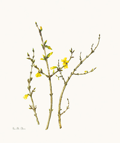 <p>Forsythia [<em>Forsythia</em> Vahl, Oleaceae], watercolor on paper by Ria van Elk-van Altena (1944–), 2010, 50 × 42 cm, HI Art accession no. 7947, reproduced by permission of the artist.</p>