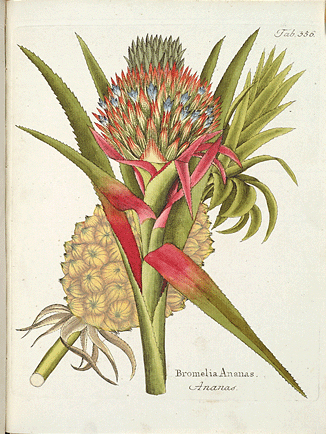 <p>Bromelia Ananas [<em>Ananas comosus</em> (Linnaeus) Merrill, Bromeliaceae], hand-colored engraving by Ignaz Albrecht (also Ignatius Alberti, 1760–1794) after his original for Ferdinand Bernhard Vietz (1772–1815), <em>Icones Plantarum Medico-Oeconomico-Technologicarum cum Earum Fructus Ususque Descriptione</em> (Vienna, Joseph Eder [u.] Schramblischen Bucherverland, 1800–1819, vol. 4, pl. 356), HI Library call no. DH1 V666i.</p>