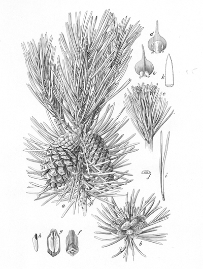 <p>Pinus contorta [<em>Pinus contorta</em> Douglas ex Loudon, Pinaceae], ink on paper by Frederick Andrews Walpole (United States, 1861–1904), 29.5 × 19 cm, on indefinite loan from the Smithsonian Institution, HI Art accession no. 4282.</p>
