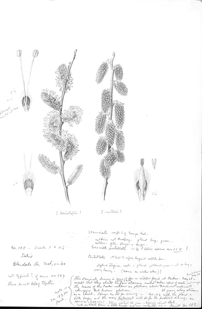 <p>Salix [<em>Salix</em> Linnaeus, Salicaceae], pencil on paper by Frederick Andrews Walpole (United States, 1861–1904), 1899, 23 × 15 cm, on indefinite loan from the Smithsonian Institution, HI Art accession no. 4363.017.</p>